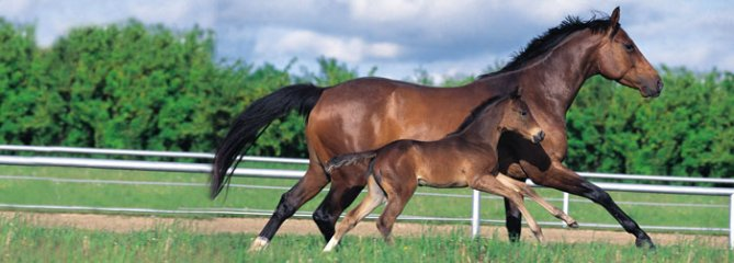 Breeding - mare & foal cantering side by